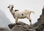 Capra cabra - ( (1 mese))
