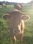 Vacca Kuh auf der Weide - ()