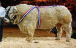 Vacca Taureau charolais - Maschio ( (1 anno))