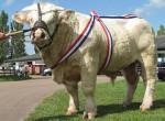 Vacca Taureau champion - Maschio ( (2 anni))