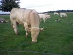 Vacca c'est un taureau charolais est il s'appelle Diego - Maschio ( (3 anni))
