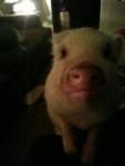 Maiale porkie - ( (1 anno))