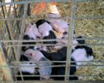 Maiale Baby's Baies:) - ()