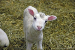 Montone Lambchop - Maschio ( (1 anno))
