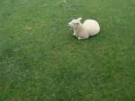 Montone sheep - ()