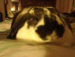 Coniglio gizmo - Maschio ( (1 anno))