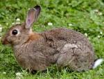 Coniglio Ester - ( (1 anno))