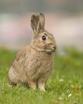 Coniglio lapin de garenne - ( (1 anno))