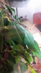 Serpente Nagini - ( (9 mesi))