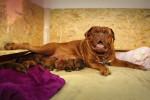 Une femelle Dogue de Bordeaux allaite ses petits