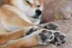 Un Shiba Inu dort dans son panier