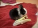 Coniglio piccolo Puntazo - Maschio ( (1 mese))