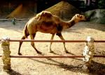 Dromedario Camel - ()