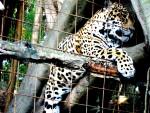 Giaguaro Jaguar - ()