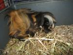 Porcellino d'India a pelo lungo Lassie - ( (1 anno))