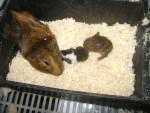 Porcellino d'India tita y sus bebes - ( (1 anno))