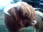 Vacca Big daddy - Maschio ( (4 anni))